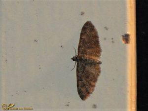 Voorjaarsdwergspanner - Eupithecia abbreviata