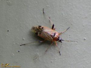 Voorjaarseikenblindwants - Harpocera thoracica