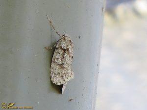 Voorjaarskortvleugelmot - Diurnea fagella
