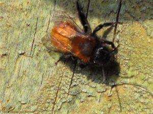 Vosje - Andrena fulva