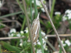 Vroege grasmot - Crambus lathoniellus