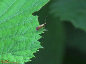 Vroege oermot - Micropterix aruncella