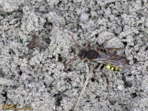 Vroege wespbij - Nomada leucophthalma