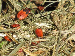 Vuurwants - Pyrrhocoris apterus