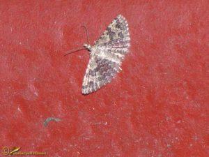 Waaiermot - Alucita hexadactyla