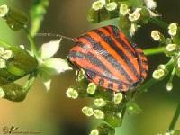 wantsen-cicaden