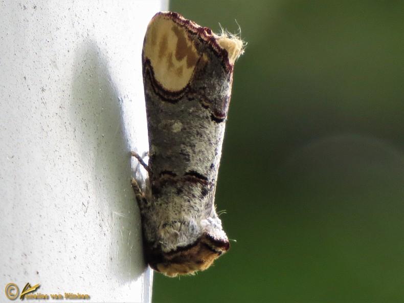 Wapendrager - Phalera bucephala