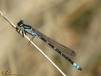 Waterjuffers (Coenagrionidae)