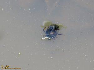 Waterroofkever onbekend - Dytiscidae indet.