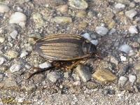 Waterroofkevers (Dytiscidae)