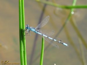 Watersnuffel – Enallagma cyathigerum ♂️