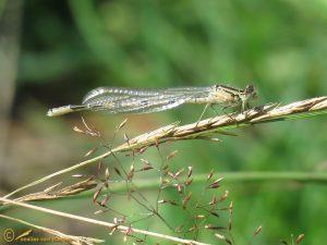 Watersnuffel – Enallagma cyathigerum