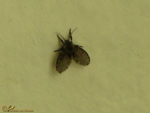 Wc-motmug - Clogmia albipunctata