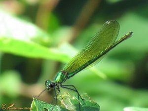 Weidebeekjuffer - Calopteryx splendens ♀️