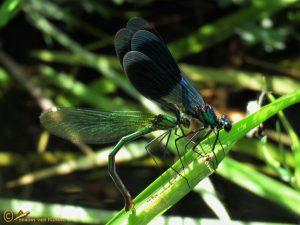 Weidebeekjuffer - Calopteryx splendens ♂️ ♀️