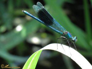Weidebeekjuffer - Calopteryx splendens ♂️