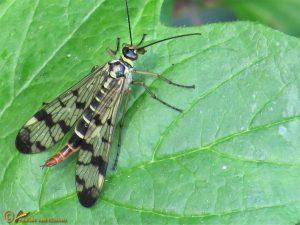 Weideschorpioenvlieg - Panorpa vulgaris