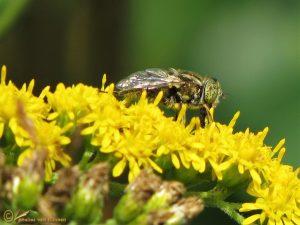Weidevlekoog - Eristalinus sepulchralis