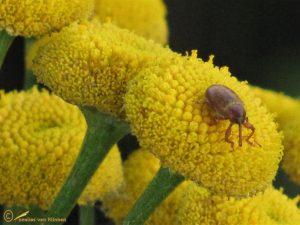Wilgenkatjessnuittor - Dorytomus tortrix