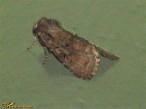 Wilgenschorsvlinder - Apterogenum ypsillon
