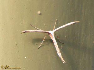 Windevedermot - Emmelina monodactyla