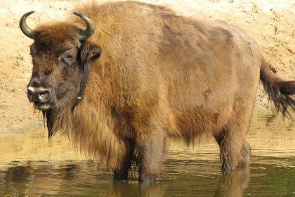 Wisent - Bison bonasus ♀️