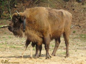 Wisent - Bison bonasus