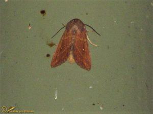 Witstipgrasuil - Mythimna albipuncta