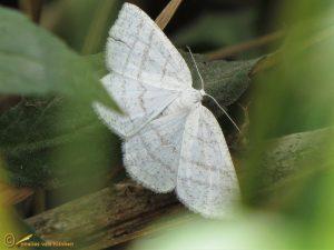 Witte grijsbandspanner - Cabera pusaria