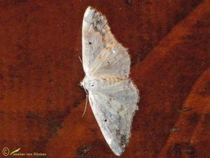 Witte schaduwspanner – Lomographa temerata