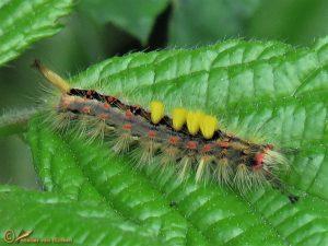 Witvlakvlinder - Orgyia antiqua