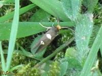 Witvlekmotten (Incurvariidae)