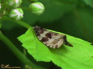 Woudbladroller - Orthotaenia undulana