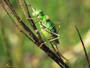 Zadelsprinkhaan - Ephippiger diurnus