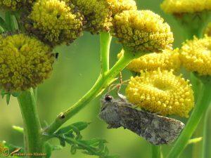 Zandhalmuiltje - Mesoligia furuncula