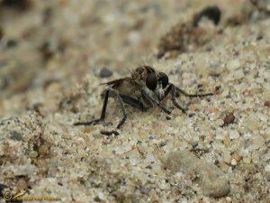 Zandroofvlieg - Philonicus albiceps ♂️