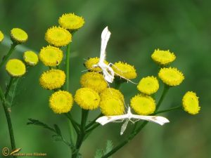 Zandvedermot - Gillmeria ochrodactyla