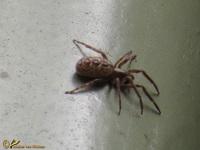 Zesoogspinnen (Segestriidae)
