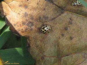 Zestienstippelig lieveheersbeestje - Tytthaspis sedecimpunctata