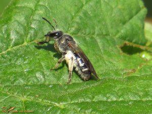 Zesvlekkige groefbij - Lasioglossum sexnotatum