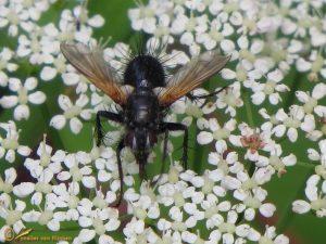 Zophomyia temula