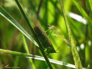 Zuidelijk Spitskopje - Conocephalus fuscus