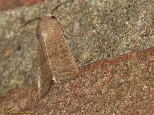 Zuidelijke stofuil - Hoplodrina ambigua