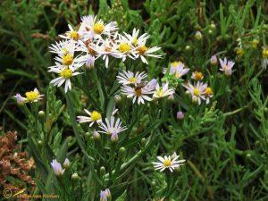 Zulte - Tripolium pannonicum
