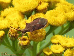 Zuringrandwants - Coreus marginatus