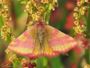 Zuringspanner - Lythria cruentaria