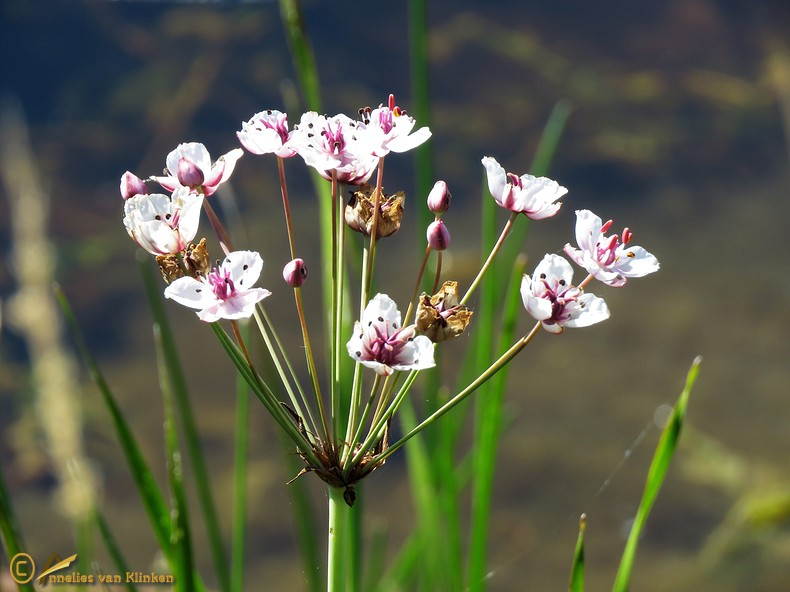 Zwanenbloem - Butomus umbellatus