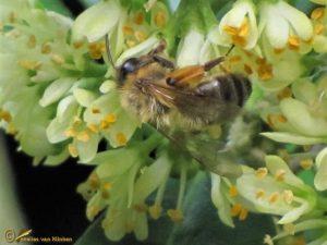 Zwartbronzen zandbij - Andrena nigroaenea