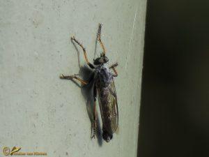 Zwartdijroofvlieg - Neomochtherus geniculatus ♂️