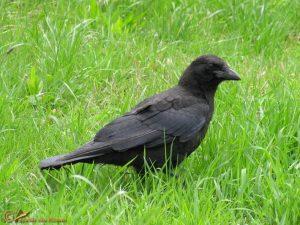 Zwarte Kraai – Corvus corone